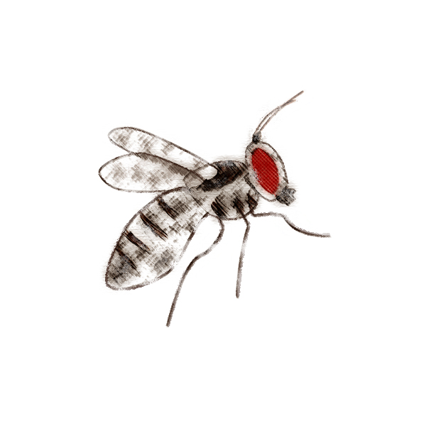 Drosophila (Sophophora)